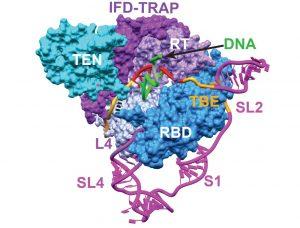 Telomerase's catalytic core